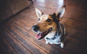 muzzle, look, dog, ears, language