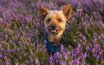 цветы, мордочка, взгляд, собака, щенок, вереск, йоркширский терьер