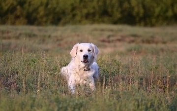 grass, muzzle, look, dog, golden retriever