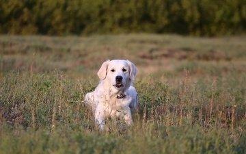 трава, мордочка, взгляд, собака, золотистый ретривер