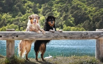 animals, look, the fence, wet, two, dogs, australian shepherd, shepherd