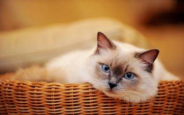 кот, мордочка, усы, кошка, взгляд, корзинка, голубоглазый
