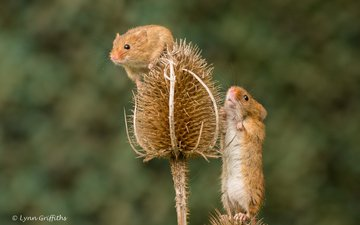 растения, размытость, грызуны, мышки, мышь-малютка, lynn griffiths