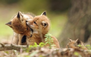 forest, animals, wildlife, play, cubs, fox