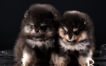 look, fluffy, puppies, dogs, faces, spitz, pomeranian