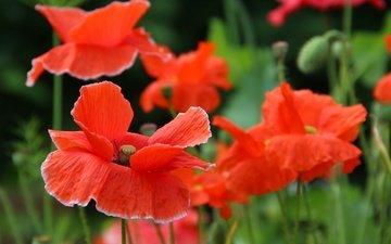 цветы, лепестки, красные, маки, стебли