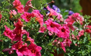 flowers, leaves, petals, stems, petunia