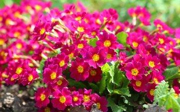 цветы, листья, лепестки, примула