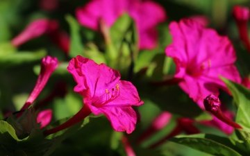 цветы, листья, лепестки, мирабилис, ночная красавица
