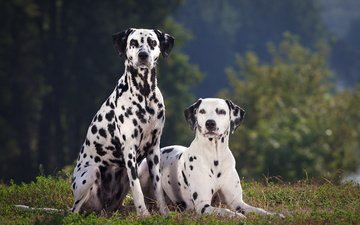 grass, look, dalmatian, dogs, faces