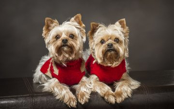 look, dogs, faces, yorkshire terrier, together