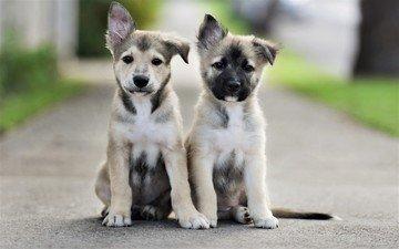 дорога, взгляд, щенки, собаки, мордочки, сидят