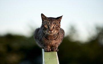 фон, кошка, сидит, перила, боке, размытый