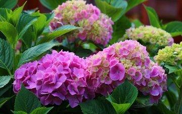 flowers, leaves, petals, inflorescence, hydrangea