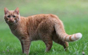 трава, кот, мордочка, усы, кошка, взгляд, грустный, рыжий