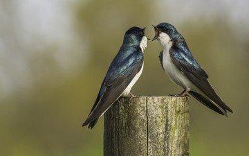 birds, beak, feathers, swallow, swallows