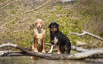 деревья, вода, взгляд, мокрые, собаки, мордочки, австралийская овчарка