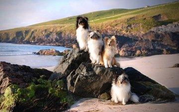 море, побережье, собаки, на посту, шелти, шетлендская овчарка