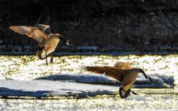 полет, крылья, птицы, гуси, приземление