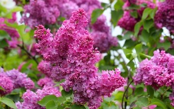 nature, flowering, spring, lilac