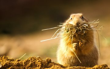 hay, rodent, prairie dog