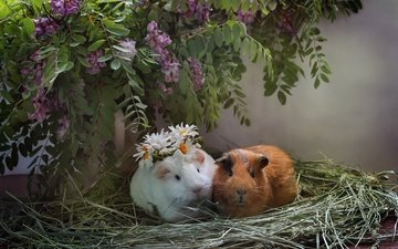 flowers, muzzle, hay, look, chamomile, wreath, socket, composition, guinea pigs