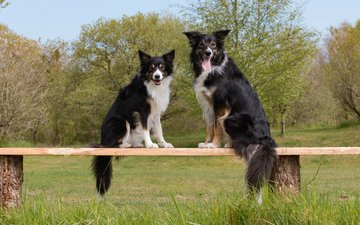 grass, trees, look, shop, dogs, faces, sitting, the border collie