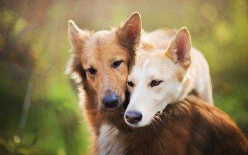 взгляд, размытость, пара, друзья, собаки, мордочки