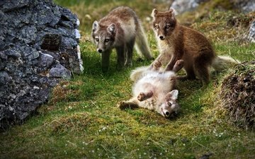 grass, the game, fox, cubs, foxes
