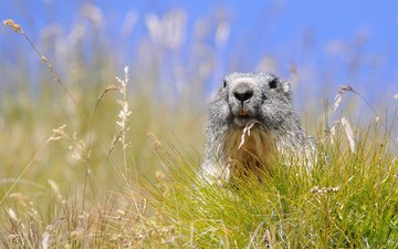 the sky, grass, spikelets, marmot, rodent