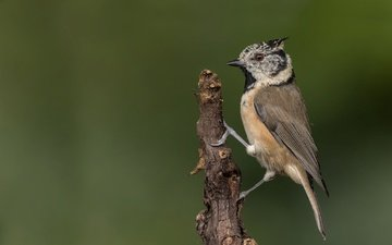 branch, bird, tit, grenaderka, crested tit