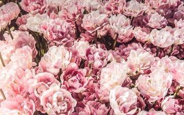 цветы, бутоны, розовые, много