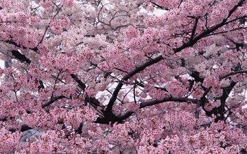 природа, дерево, ветки, весна, вишня, сакура