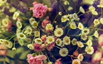 цветы, розы, ромашки, розовый, полевые цветы, букет цветов