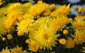 цветы, букет, желтые, хризантемы