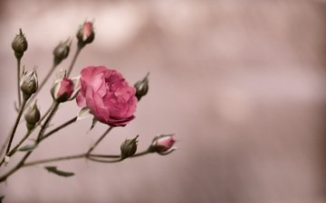 buds, flower, rose, bush, pink