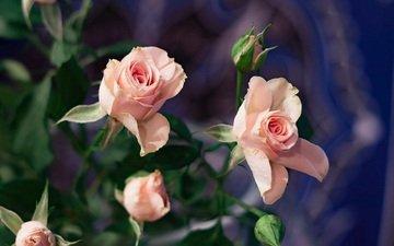 цветы, розы, лепестки