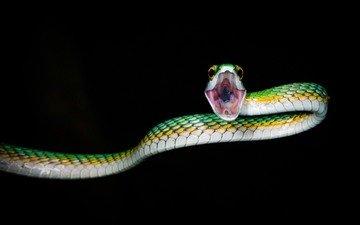 ночь, природа, змея, животное, пасть, рептилия