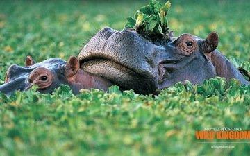 greens, hippo, hippos, one hundred ten, hippopota
