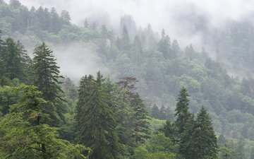 trees, mountains, nature, forest, fog, national park