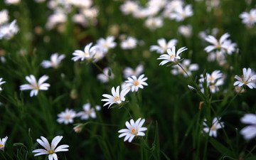 flowers, grass, greens, buds, field, petals, glade, white, stems