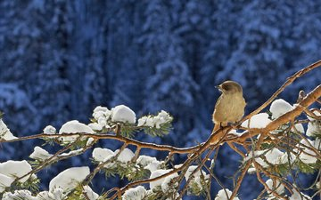 snow, needles, winter, branches, bird, sparrow, pine