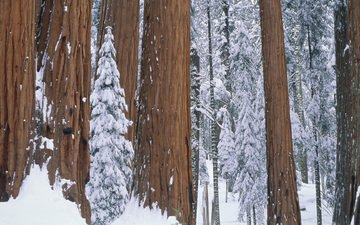 trees, snow, nature, forest, winter, park, sequoia