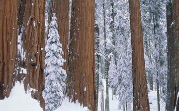 деревья, снег, природа, лес, зима, парк, секвойя