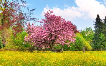 the sky, trees, nature, flowering, field, spring, cherry tree