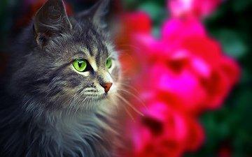 глаза, морда, кот, взгляд, пушистый
