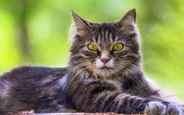 трава, портрет, кот, кошка, взгляд, лежит