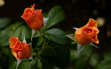 roses, bouquet, orange