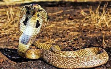 трава, змеи, сухая, кобра, питоны, кобры