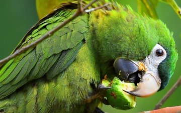 background, pose, food, look, bird, beak, claws, color, parrot, ara, lunch, tail, meal